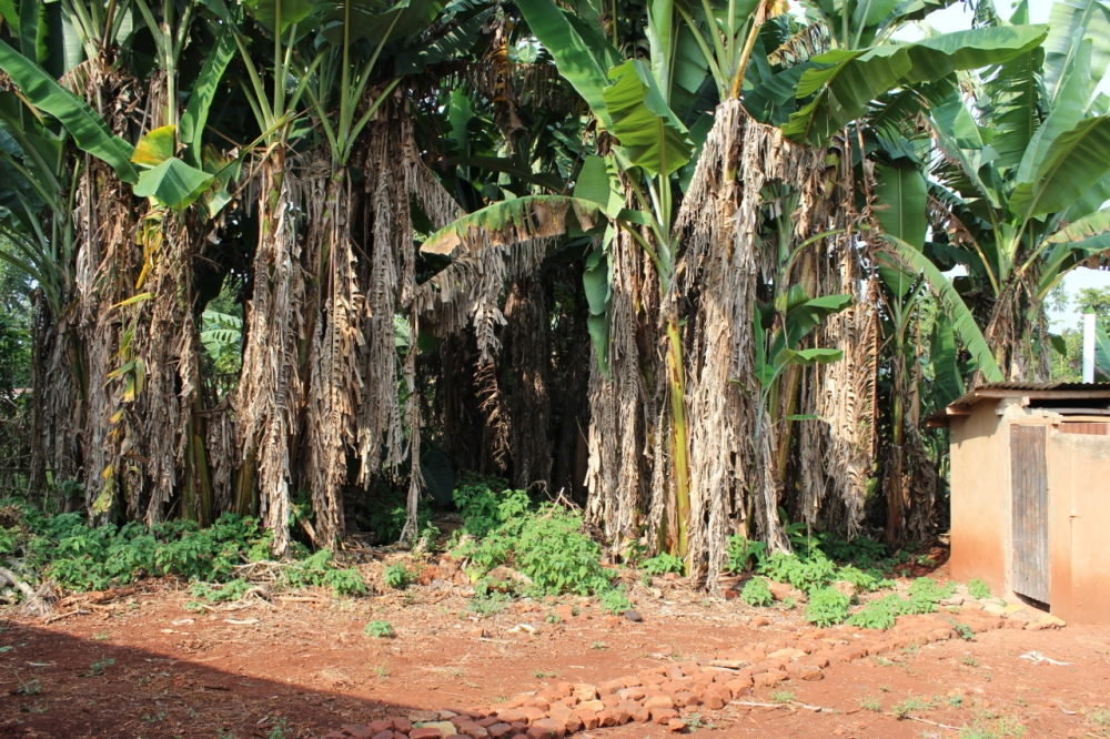 Behind the house...love these banana trees. If I could, I'd put a garden and sitting area in the center.
